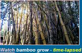 Bamboo Plants Natal Wiki Youtube clips